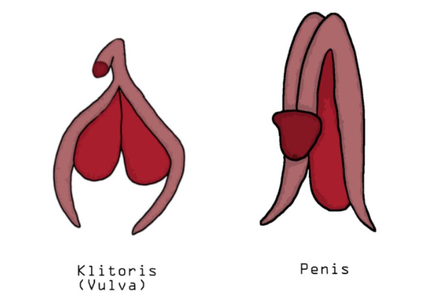 Anschwellen penis Keuschhaltung